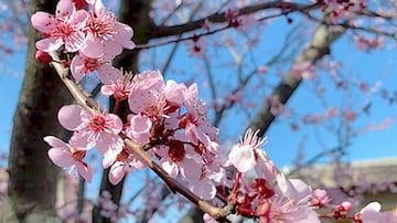 Flowering Plum (Prunus spp.)