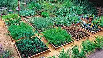 Home vegetable garden of ground-level raised beds and pathways. Copyright © 2003, 2018, 2019, 2020 Dolezal & Associates. All Rights Reserved.