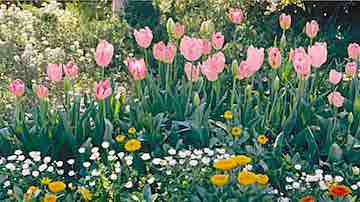 Blooming pink tulips naturalized in a mixed border beneath the snow-white blossoms of a flowering plum tree in spring. Copyright ©2002 by Dolezal & Associates. All Rights Reserved.