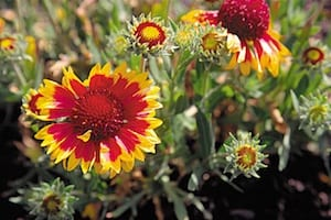 Showy red and gold-tipped flowers of blanket flower (gaillardia spp.) growing in a home landscape garden bed. Copyright ©2002 by Dolezal & Associates. All Rights Reserved.